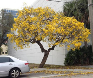 City of fort lauderdale fl silver trumpet tree yellow tab yellow tab by a house mightylinksfo Image collections
